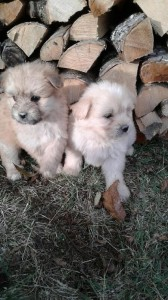 chiots labrits